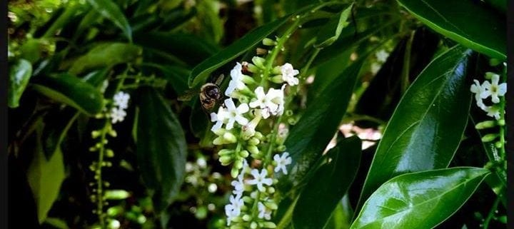 Green Bush with small white flowers