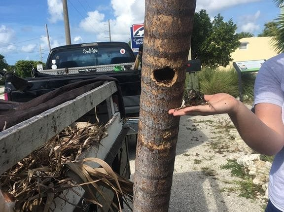 A person standing near a tree in the Florida Keys who pulled a bird out of a whole with a nest and is holding it in her hand