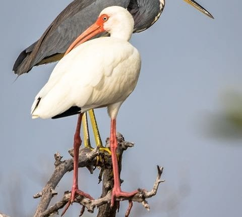 two birds perched on a branch, one black and one white in the Florida Keys